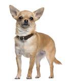 chihuahua 2 rok starego trwanie Zdjęcia Stock