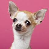 chihuahua 2 rok zamkniętego starego Zdjęcia Royalty Free