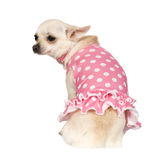 Chihuahua (2 years) Royalty Free Stock Image