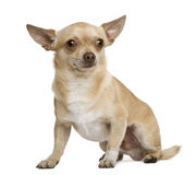 Chihuahua, 2 years old Stock Photo