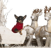 Chihuahua, 2 years old, in Christmas sleigh Royalty Free Stock Image