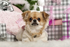 Chihuahua, 2 years old, lying Stock Photos