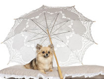 Chihuahua, 2 years old, lying under parasol Royalty Free Stock Photo