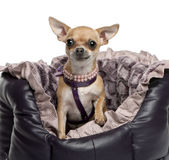 Chihuahua, 2 years old, sitting Stock Images
