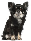 Chihuahua, 2 years old, sitting royalty free stock photo