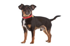 Chihuahua. Dog in front of a white background Stock Image