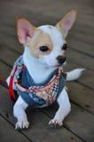 Chihuahua Fotografía de archivo