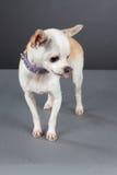Chihuahua Fotos de Stock