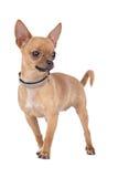 Chihuahua Lizenzfreie Stockfotos