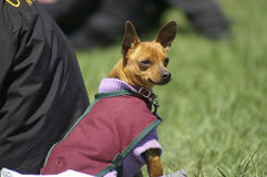 Chihuahua. A little Chihuahua dog wearing a coat Royalty Free Stock Photography