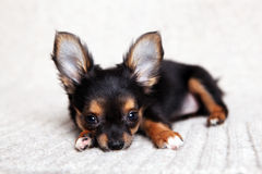 chihuahua Zdjęcie Stock