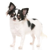 Chihuahua. On the white background in the studio Stock Photography