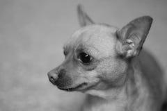 chihuahua Arkivbilder