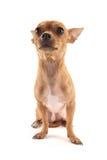 Chihuahua Stockfotos