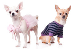 Chihuahua. Two chihuahua dressed as holidaymakers Stock Photography