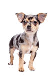 Chihuahua. Dog in front of a white background Royalty Free Stock Photos