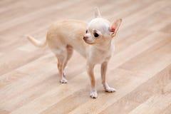Chihuahua Royaltyfri Fotografi