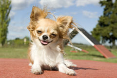 Chihuahua. Portrait of a cute purebred chihuahua in a training of agility Stock Photo