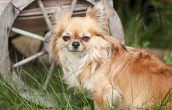 Chihuahua Στοκ φωτογραφία με δικαίωμα ελεύθερης χρήσης