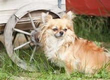 Chihuahua Στοκ εικόνες με δικαίωμα ελεύθερης χρήσης
