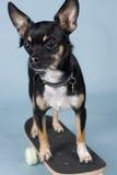Chihuahua Stock Photo