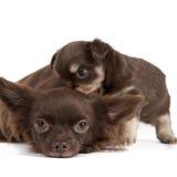 Chihuahua Fotografie Stock