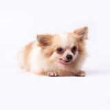Chihuahua Στοκ φωτογραφίες με δικαίωμα ελεύθερης χρήσης