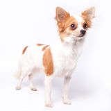 Chihuahua Στοκ εικόνα με δικαίωμα ελεύθερης χρήσης