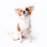 Chihuahua Στοκ Φωτογραφίες