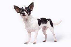 Chihuahua Στοκ Φωτογραφία