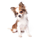 Chihuahua Stock Image