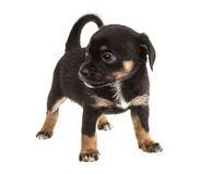 Chihuahua Royalty-vrije Stock Foto's