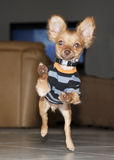 Chihuahua. Running with all four feet off the ground Royalty Free Stock Photography