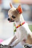 Chihuahua. Stock Image