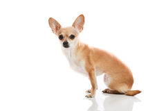 Chihuahua. Side view on chihuahua on white background Royalty Free Stock Photography