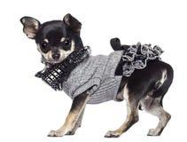 Chihuahua, 3 år som är gammala som är klädda och se Royaltyfri Foto