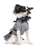 Chihuahua 3,5 gammala år, sammanträde Arkivbild
