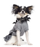 Chihuahua, 3.5 years old, sitting, dressed Royalty Free Stock Photography