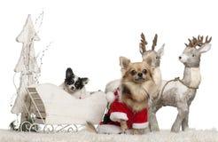 Chihuahua, 3 años, y perrito de la chihuahua, 9 Fotografía de archivo libre de regalías