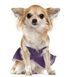 Chihuahua, 3 anos velha, sentando-se foto de stock