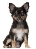 Chihuahua 3 gammala som månader sitter Royaltyfri Fotografi