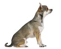 Chihuahua, 3 Jahre alt Lizenzfreies Stockbild