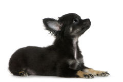 Chihuahua (3 meses) Fotografia de Stock