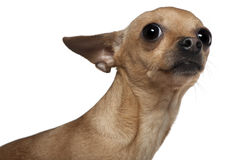 Chihuahua, 3 years old Royalty Free Stock Photos