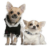 Chihuahua, 3 years old, and Chihuahua puppy Royalty Free Stock Photography