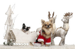 Chihuahua, 3 years old, and Chihuahua puppy, 9 Royalty Free Stock Photography