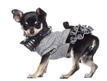 Chihuahua, 3 years old, dressed and looking Royalty Free Stock Photo