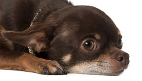 Chihuahua, 3 years old, lying Royalty Free Stock Image