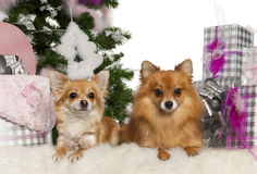 Chihuahua, 3 years old, with Pomeranian, 2 years Royalty Free Stock Images
