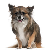 Chihuahua, 3 years old, sitting Stock Photography